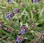 Lungenkraut, Pulmonaria longifolia
