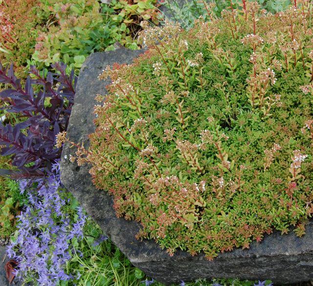 Dachbbegrunungspflanzen Schatten Grundach