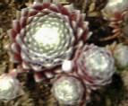Sempervivum arachnoideum 'Silberring', Spinnwebhauswurz