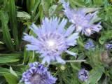 Kornblumen Aster, Stokesia laevis