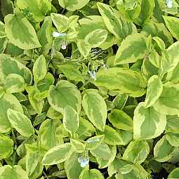 Symphytum grandiflorum 'Goldsmith'  Beinwell