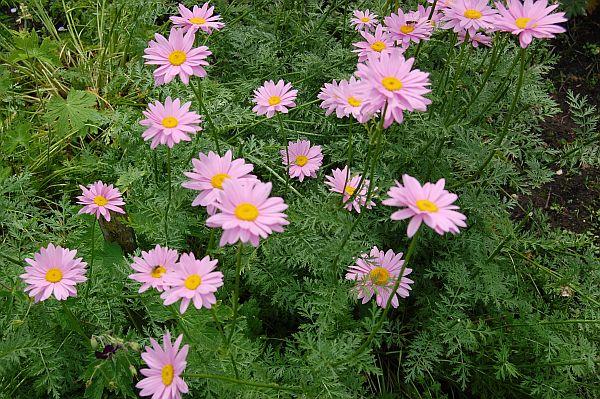 Top Tanacetum coccineum 'Robinsons Rosa', Bunte Garten-Margerite #OH_01