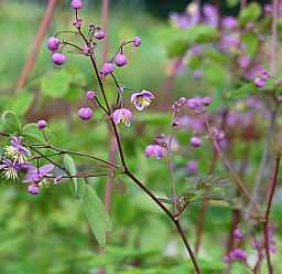 Thalictrum rochebrunianum, Wiesenraute