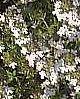 Thymus fragantissimus, Orangenthymian