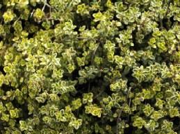Thymus x citriodorus 'E.B. Anderson', Zitronenthymian