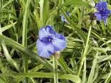Dreimasterblume, Tradescantia x andersoniana 'Zwanenburg Blue'