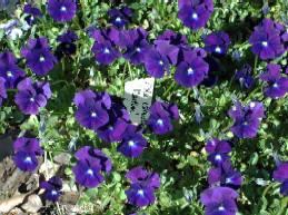 Viola cornuta 'Martin' Hornveilchen