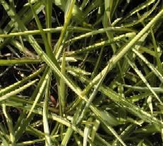 Yucca flaccida 'Golden Sword', Palmlilie